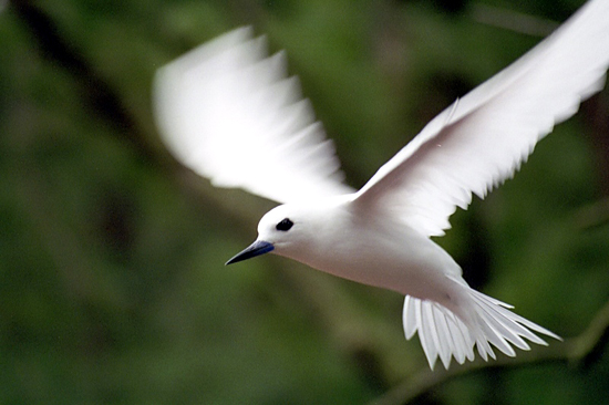The White Tern (Gygis alba) nests on coral islands throughout the tropics.