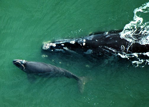 Northern Right Whale Cow and Calf