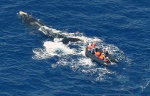 Whither the North Atlantic Right Whale?