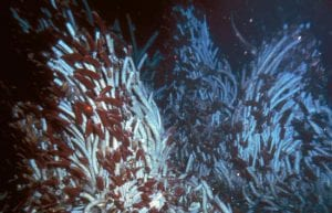 On the Seafloor, a Parade of Roses