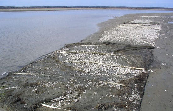 A Mysterious Disease Is Infecting Northeast Clam Beds