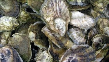Should Eastern Oysters Be Put on the Endangered List?