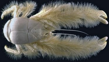 Lurking Benignly on the Seafloor, the 'Yeti' Crab is Discovered