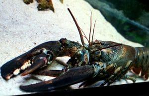 A Modest Proposal to Sustain Lobsters and Lobstermen