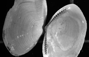 Ocean Circulation and a Clam Far From Home