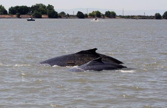 whale_calf_250_49396.jpg