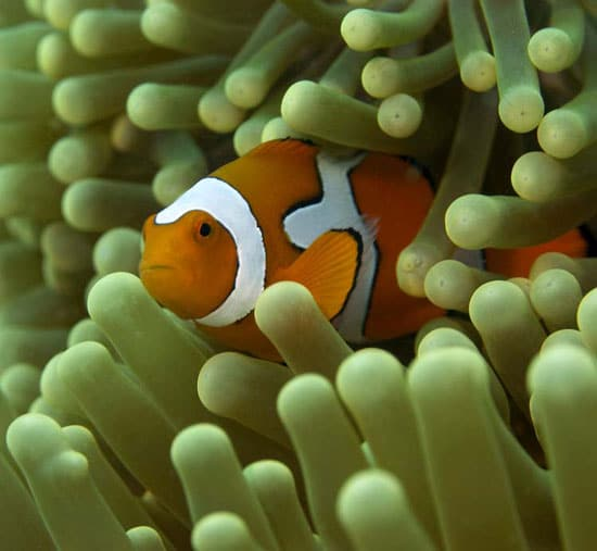 clownfish1_nest_50689.jpg