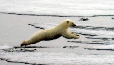 Melting Ice Threatens Polar Bears' Survival