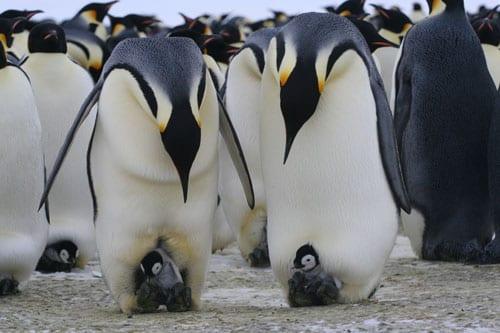 Penguin_Families_550_85849.jpg