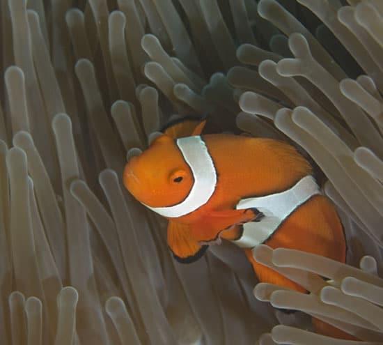 clownfish_550_87948.jpg
