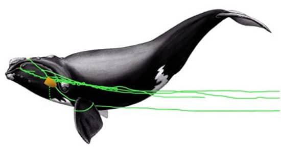 sketch_whale_550_87293.jpg
