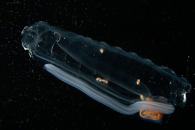 Salps Catch the Ocean's Tiniest Organisms