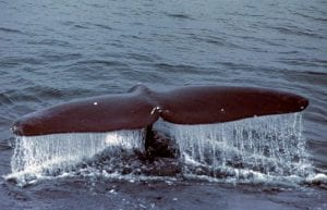 Are Whales 'Shouting' to be Heard?