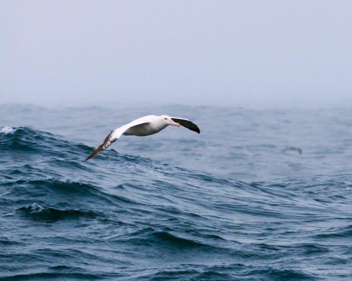 albatross1-300_132233.jpg