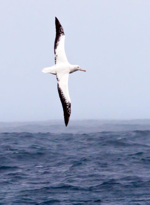 albatross3-300_132256.jpg