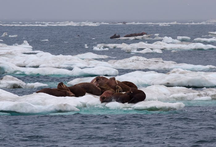 Bering_ice_floes_walrus300_192393.jpeg