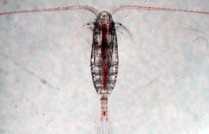 Bacteria Hitchhike on Tiny Marine Life