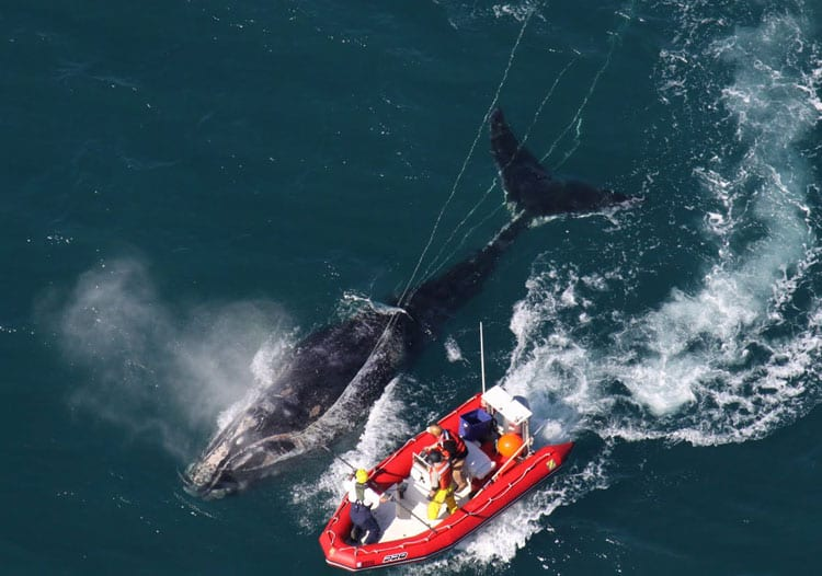 Right_Whale_IMG_0193_350_282213.jpg