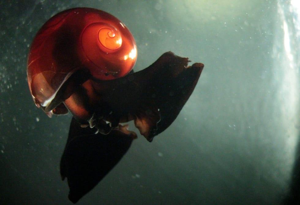 pteropods-2.jpg