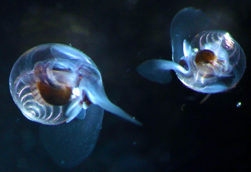 pteropods-5.jpg