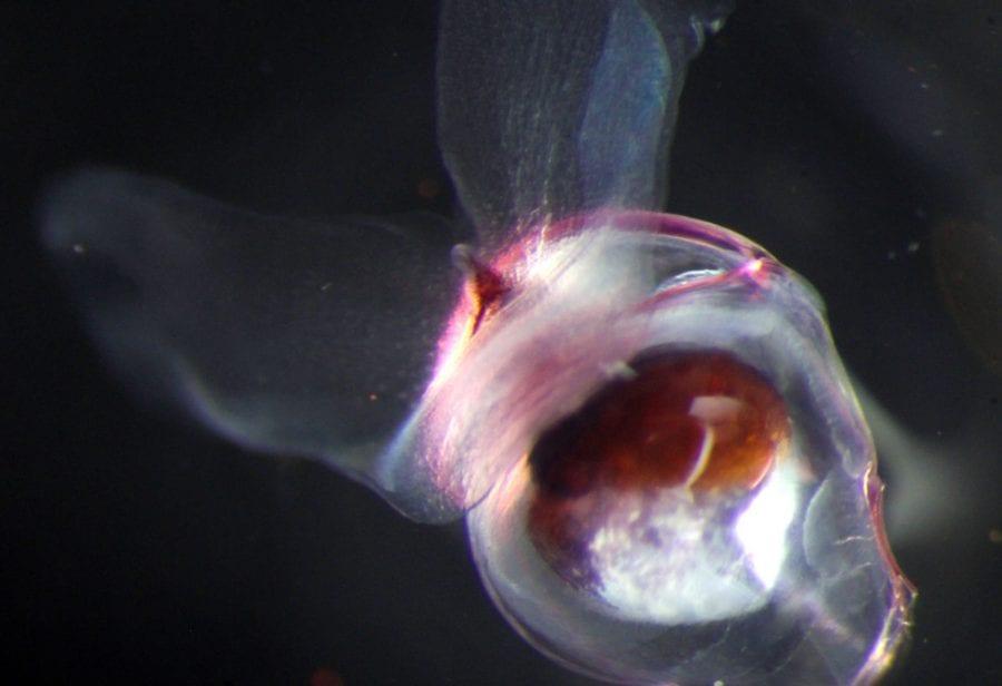 pteropods-9.jpg