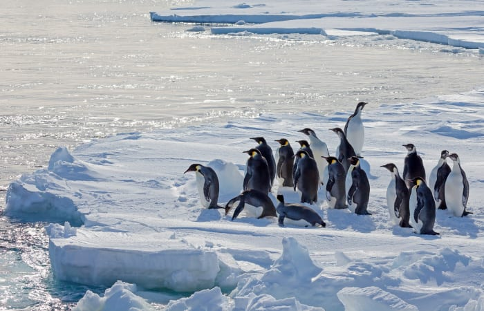 The Decline and Fall of the Emperor Penguin?