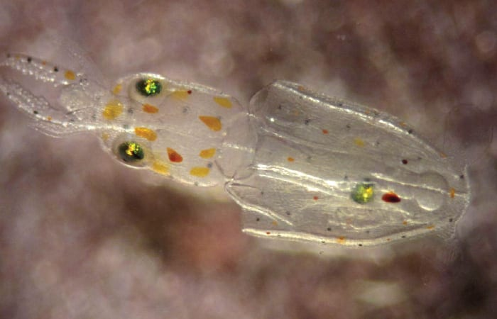 Can Squid Abide Ocean's Lower pH?