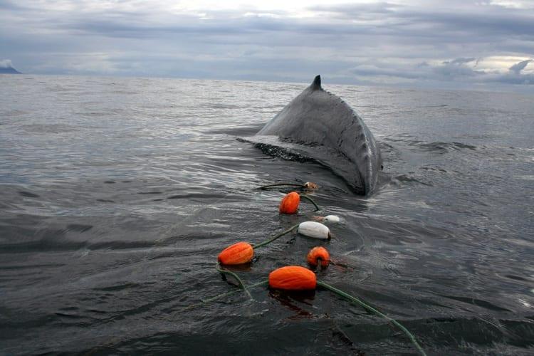 Gillnet_behind_whale_8-29-350_326455.jpg