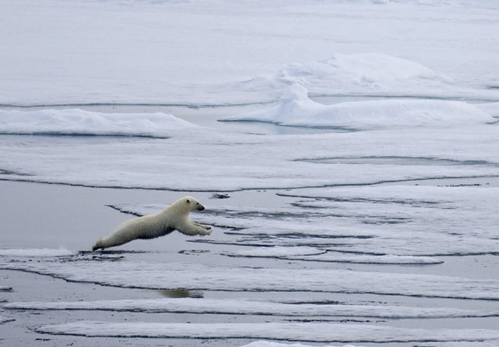 Leaping Polar Bears!