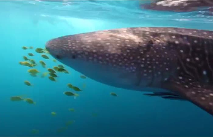 A Haven for Whale Sharks