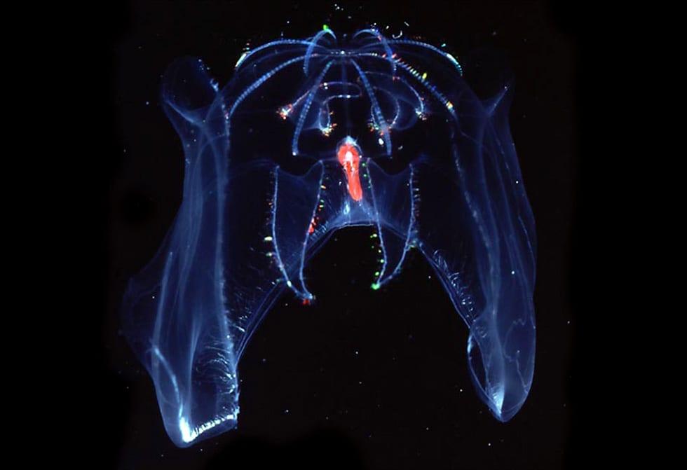 Bathocyroe fosteri