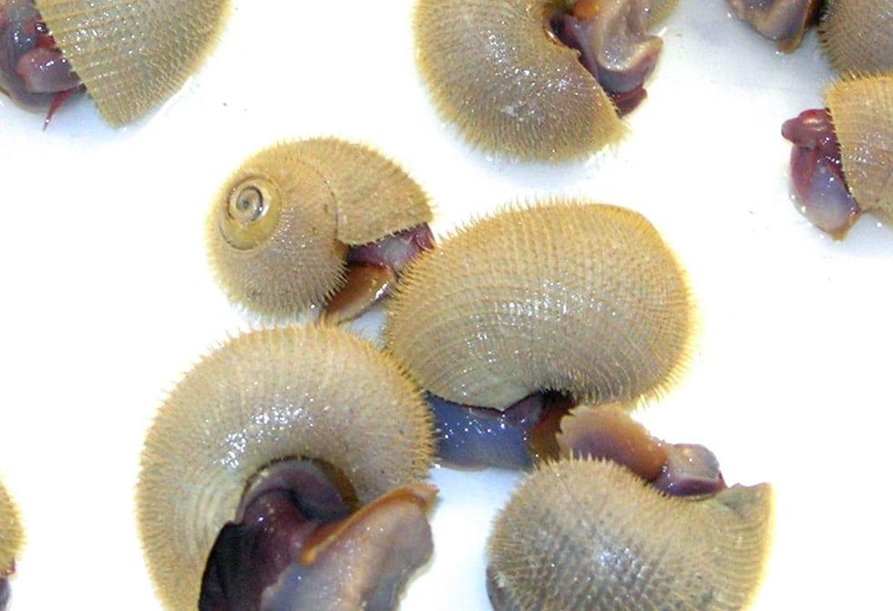 Alvinoconcha hessleri