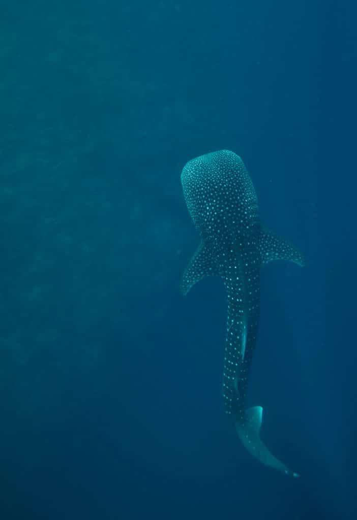 graphics-thorrold-Whale-shark2-350_350774.jpg