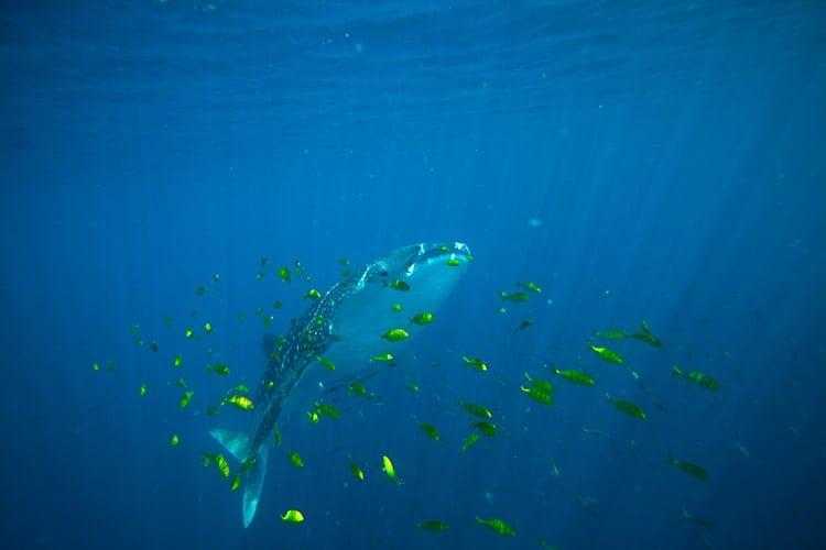 graphics-thorrold-Whale-shark350_350794.jpg