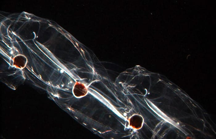 salp4_BetsyBroughton_salpa_aspera-copy.jpg