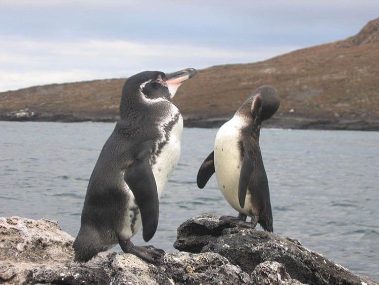 Galapagos_penguin350_393974.jpg