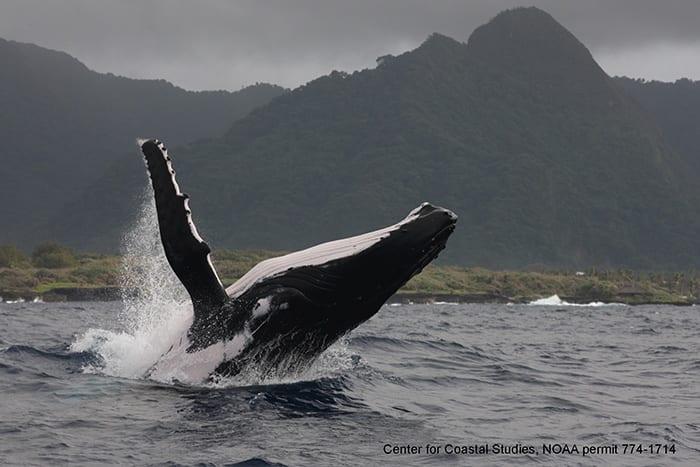 Humpback_breach_CCS_NOAA_permit_774-1714_350_409375.jpg