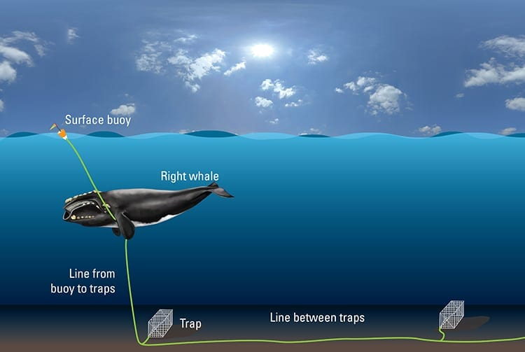 Rightwhale.buoy.trap-2_750_411513.jpg