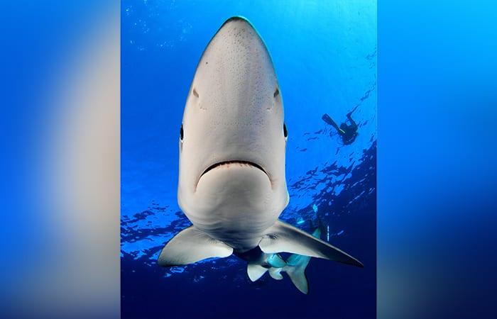 Blue-Shark03_429536.jpg