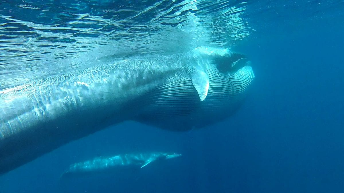 A New Whale Species Is Discovered in the Wild
