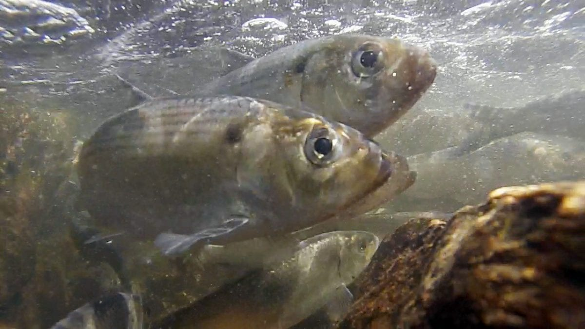 A Big Decline of River Herring