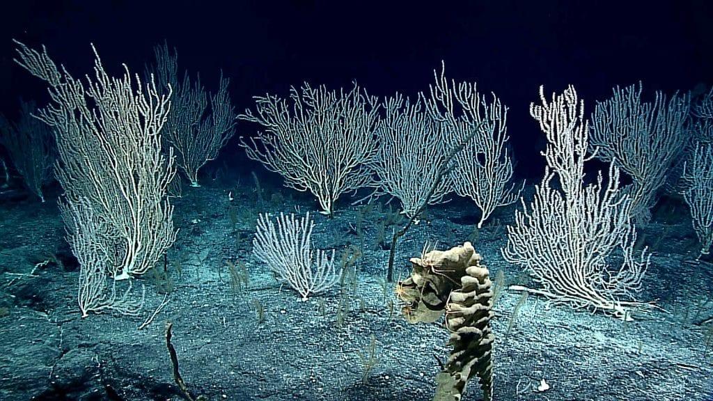 frame_grab_Coral_Forest_NOAA_OER_454813.jpg