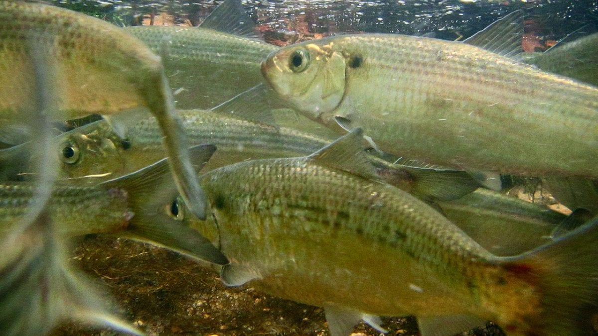 A School for Alewives