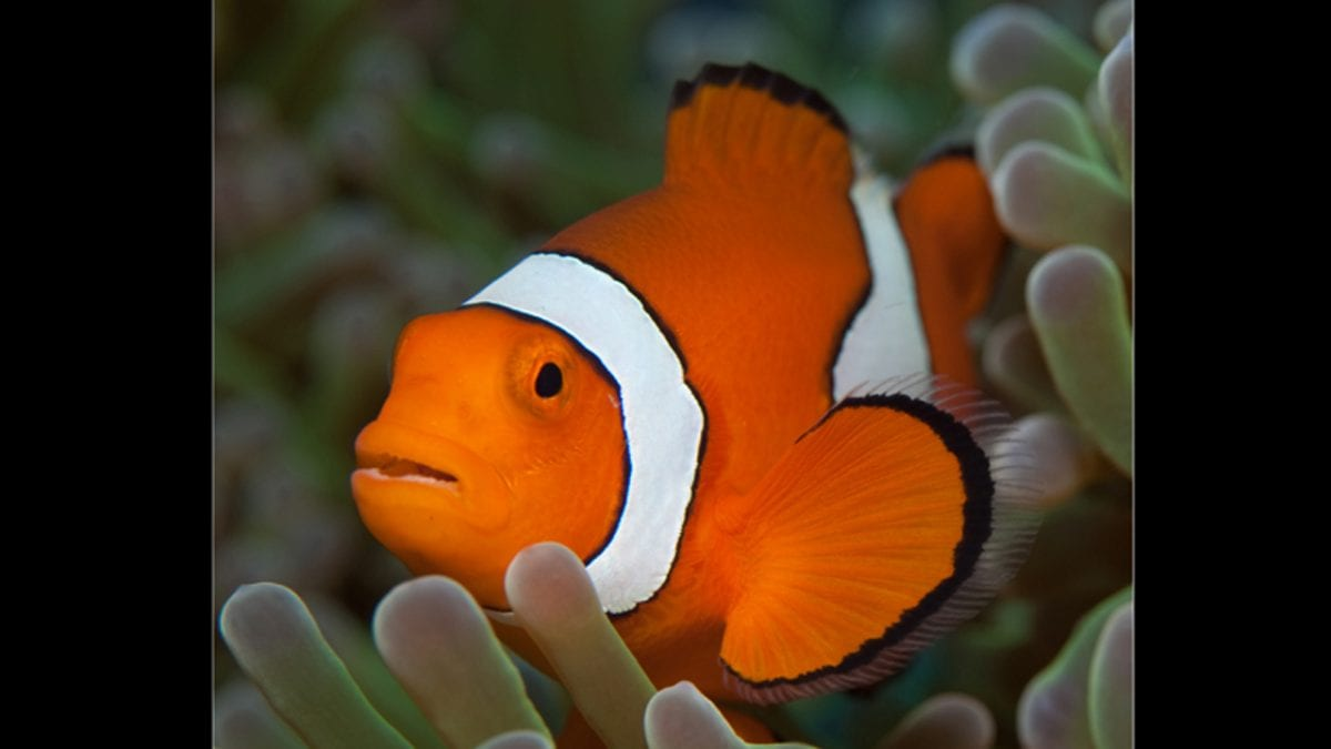 Travel Distances of Juvenile Fish Key to Better Conservation