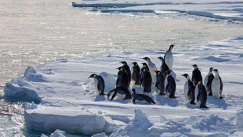 group of emperor penguin