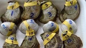 Can Clams and Oysters Help Clean Up Waterways?