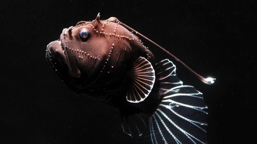madin-anglerfish_1920x1080.jpg