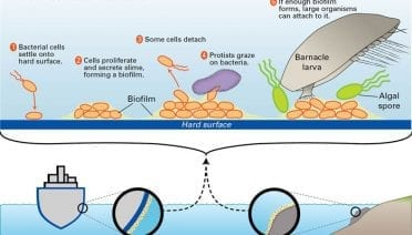 How a Biofilm Forms in the Sea