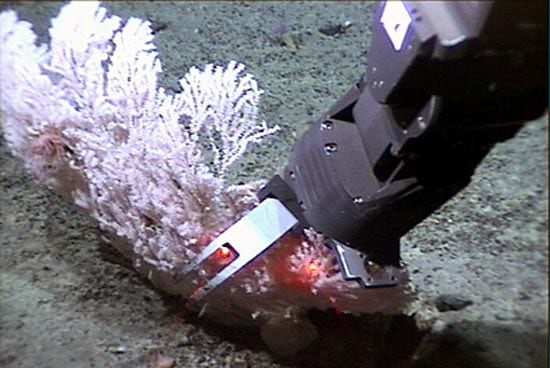Jason's robotic arm collects a coral at 2.7 km (1.7 miles) depth during a 2004 dive to the Gulf of Alaska. The picture is one of many thousand Jason-in-action shots available for viewing via the Virtual Control Van. (photo by Woods Hole Oceanographic Institution)