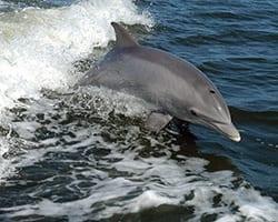 Bottlenose dolphin. NOAA.